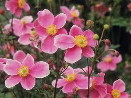 hadspen abundance u0027 japanese anemone our favorite flowers hgtv