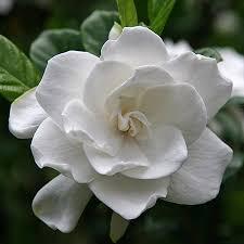 gardenia flower august beauty gardenia for sale fast growing trees