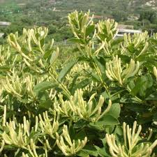 Fragrant Climbing Plants - honeysuckle flower seed plants in climbing liana aromatic fragrant