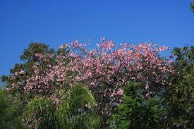 san antonio native plants plantanswers plant answers u003e fall flowering tree in san antonio