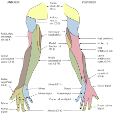 Anatomy Of The Shoulder Girdle Cutaneous Innervation Of The Upper Limbs Wikipedia