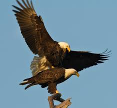 strange eagle wallpapers 7 highly effective habits of eagles pgcps mess reform sasscer