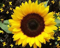 single sun flower wallpapers single sunflower sunflower wallpaper 1280x1024 105437