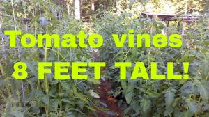 how to get huge tomato plants easy cheap tomato fertilizing and