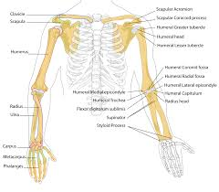Anatomy Structure Of Human Body File Human Arm Bones Diagram Svg Wikipedia