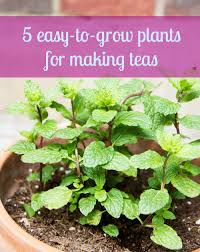 5 easy to grow container plants perfect for making teas