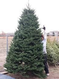 bigmservices freshchristmastrees jpg