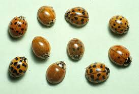 How To Find Ladybugs In Your Backyard Multicolored Asian Lady Beetles Insects University Of
