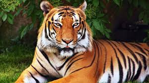 what does tigers dreams meaning