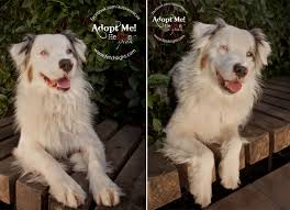 australian shepherd rescue adoptable dogs at aussie rescue san diego february fetchlight