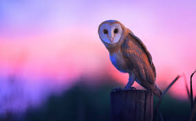 North American Barn Owl Who Said That 8 Owls You Might Hear At Night Mnn Mother