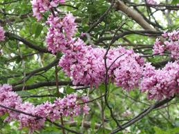 trees with pink flowers mid atlantic gardening small flowering trees