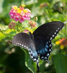 attracting butterflies proven winners
