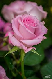 Rose Flower Images 195 Best Beautiful Roses Images On Pinterest Beautiful Roses