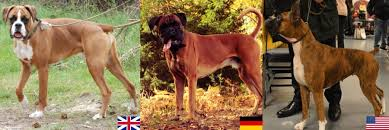 boxer dog origin the boxer family guardian and clown in one canine habit