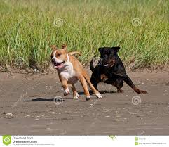 american pitbull terrier vs amstaff rottweiler and american staffordshire terrier met royalty free