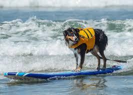 australian shepherd san diego kenzie so cal surf dogs