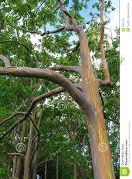 rainbow eucalyptus tree closeup royalty free stock photo image