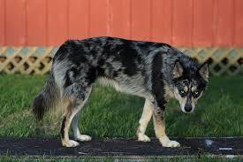 australian shepherd husky puppy siberiean husky x aussie cattle dog dogs pinterest cattle