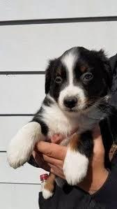 3 australian shepherd mix puppies for adoption litter of 6 border collie miniature australian shepherd mix