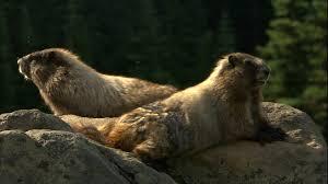 Marmot mount rainier national park usa hd stock video 709