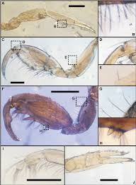 morphological and genetic confirmation of jassa slatteryi