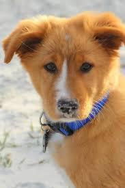 australian shepherd orange australian shepherd golden retriever mix oh my god i want him