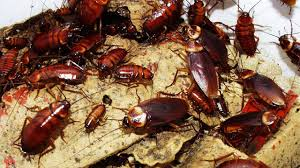 How To Get Rid Of Cockroaches In Kitchen Cabinets by How To Get Rid Of Cockroaches Fast Youtube
