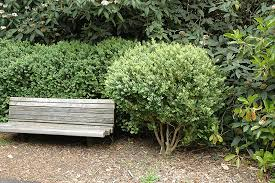 american boxwood buxus sempervirens in ringoes new jersey nj