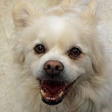 american eskimo dog rescue michigan male american eskimo dog for adoption