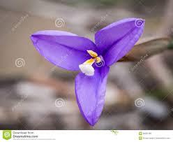 purple flowering australian native plants purple flag flower patersonia occidentalis western australia