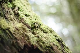 trees moss dangers snohomish pro cut tree service