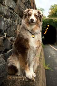 australian shepherd velcro dog diesel is the definition of