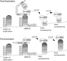 elaboration diversification and regulation of the sir1 family of