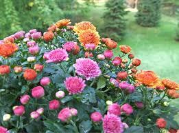 flowers in november november birth flower the old farmer s almanac