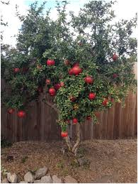 backyards splendid 36 burke u0027s backyard fruit trees cool fruit