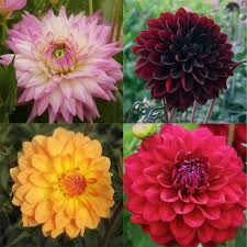 Flowers For November Wedding - wedding flowers in bloom dahlias delivered for fall weddings