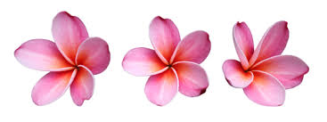 Plumerias Fun Flower Facts Plumeria Grower Direct Fresh Cut Flowers Presents U2026
