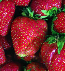 quinault strawberry most popular ever bearing large fruit