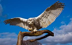 white owl 2 wallpapers snowy owl wallpaper hd the best image wallpaper 2017