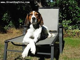 bluetick coonhound westminster 8 best treeing walker coonhound images on pinterest treeing