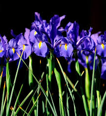 Iris by Getting Your Iris Bed In Shape Takes Effort Albuquerque Journal