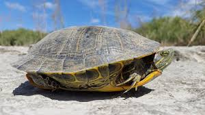 turtles are crossing the road u2013 fish and wildlife service news
