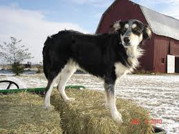 australian shepherd spaniel mix saved by dogs shepherding collies a collie by another name