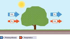 bbc bitesize gcse biology gas exchange in plants revision 1