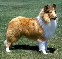 belgian sheepdog on petfinder adopt a collie dog breeds petfinder