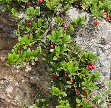 What Are The Red Bugs On Concrete by Growing The Strawberry Tree U2014arbutus Unedo