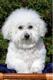affenpinscher adults for sale bichon frise breed information u0026 pictures tenerife dog bichon