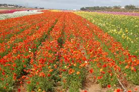 carlsbad flower garden carlsbad flower fields u2013 guest post by natalie wardel secrets in