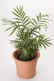 parlor palm houseplant care u2013 caring for indoor parlor palm plants